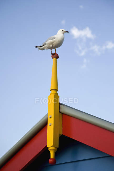 Silver Gull perched on roof post over clear sky — Stock Photo