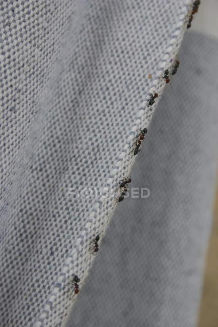 Fila de formigas em subir a cortina — Fotografia de Stock
