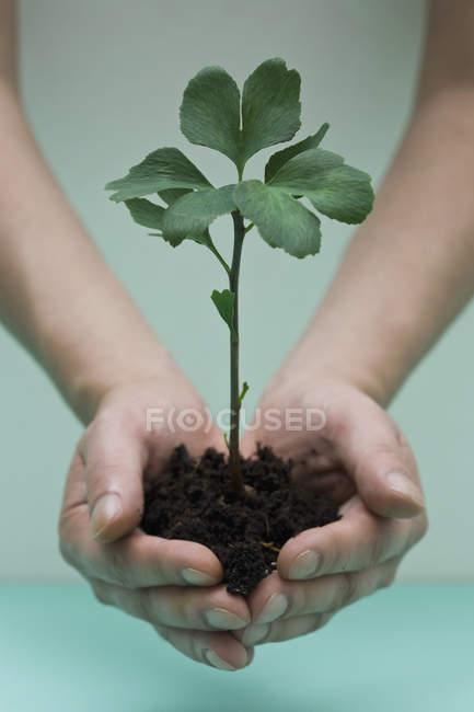 Coltivazione mani culla piccolo ginkgo alberello — Foto stock