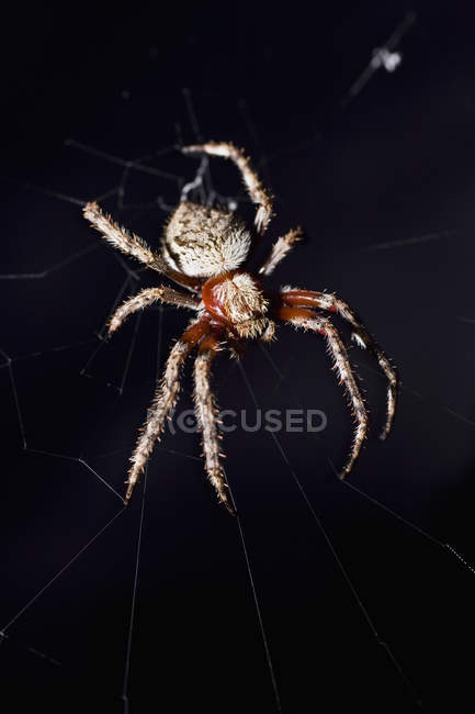 Close up view of spider in web over black background — Stock Photo