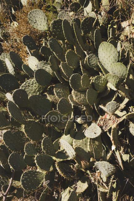 Tilt shot de plantas de nopal espinoso - foto de stock