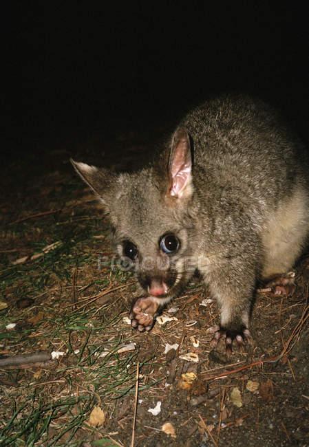 Australischen Fuchskusu Possum auf Boden in der Nacht — Stockfoto
