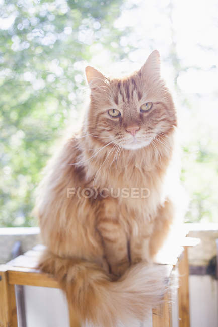 Portrait of Maine Coon cat sitting on wooden stool during sunny day — Stock Photo