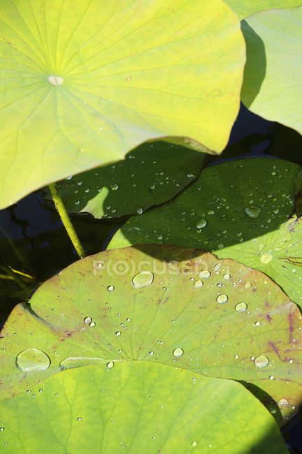 Низький кут зору крапель води на листя лілії — стокове фото
