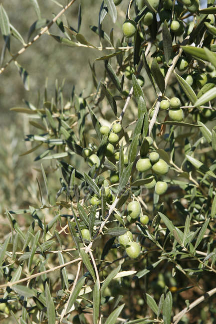 Olives growing on sunlit tree — Stock Photo