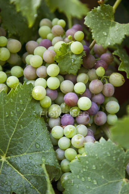Close up view of grapes growing on vine — Stock Photo