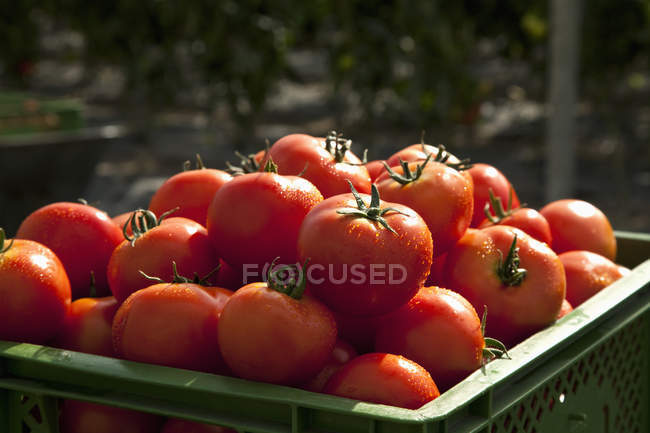 Close up view of pile of organic tomatoes in crate — Stock Photo