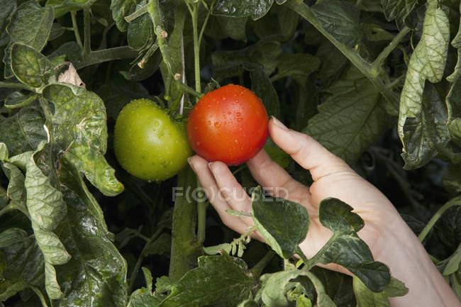 Crop female hand touching ripe tomato growing on vine — Stock Photo