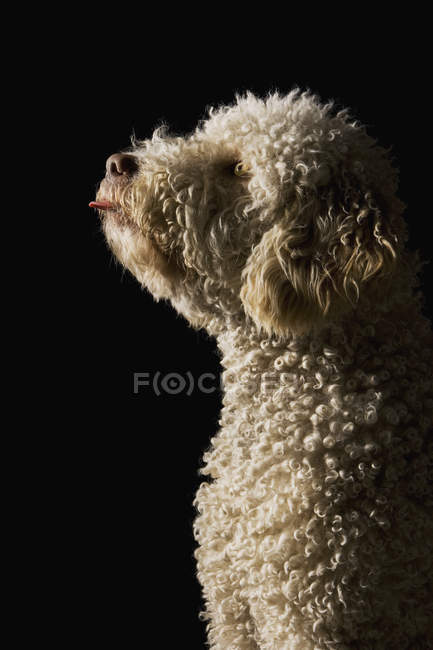 Portuguese Waterdog sticking its tongue out — Stock Photo