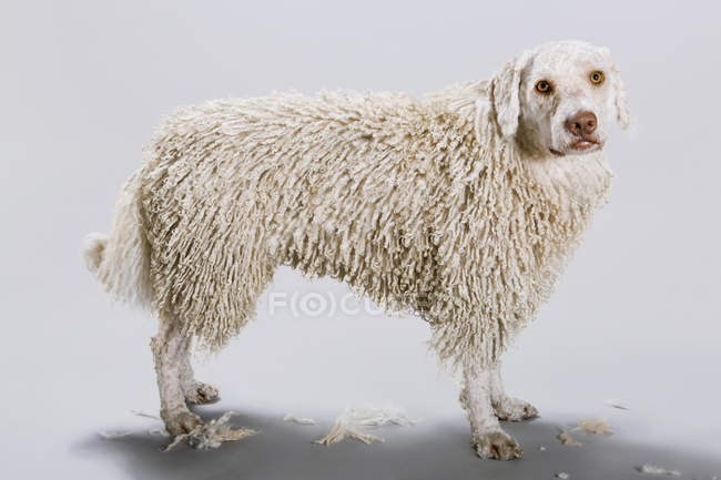 Side view of Portuguese Waterdog on grey backdrop with its head shaved — Stock Photo