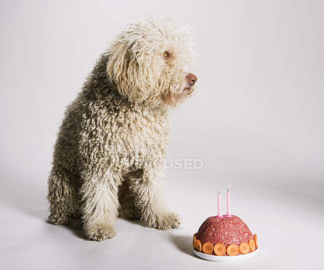Portuguese Waterdog sitting by birthday cake of ground meat — Stock Photo