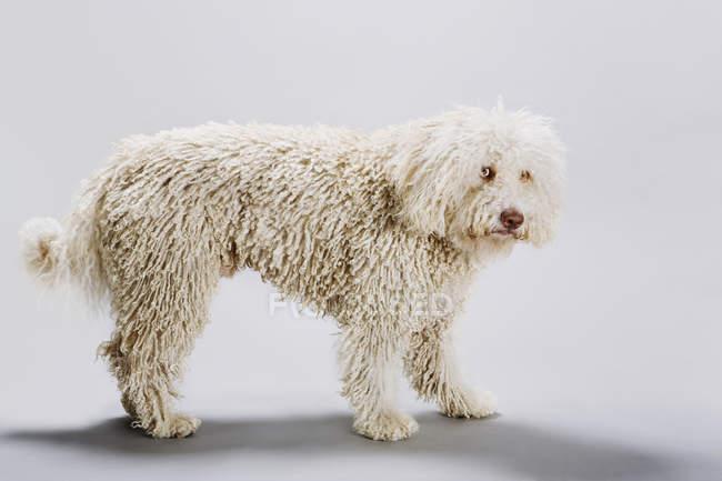Vista lateral del perro de agua Portugués sobre fondo gris - foto de stock