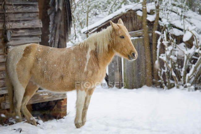 Side view horse standing by barn in snow — Stock Photo