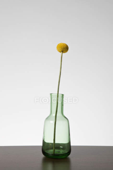 Single Billybutton Daisy in glass vase over grey background — Stock Photo