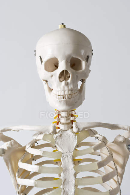 Head and shoulders of anatomical skeleton model on white background — Stock Photo