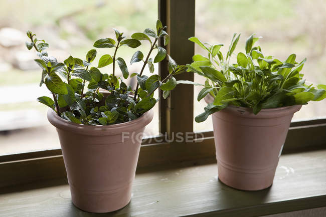 Two flower pots of sage and mint on windowsill — Stock Photo