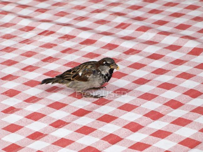 Spatz Vogel sitzt auf rot-weiß karierte Tischdecke — Stockfoto
