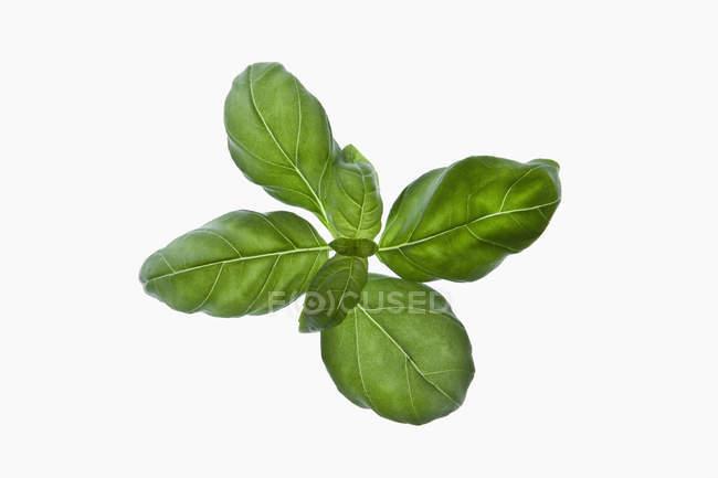 Bund Basilikum Blätter auf weißem Hintergrund — Stockfoto