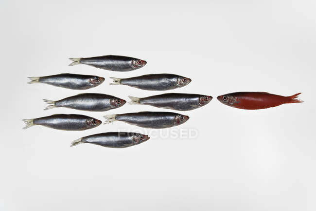 Group of sardines facing single sardine painted red — Stock Photo