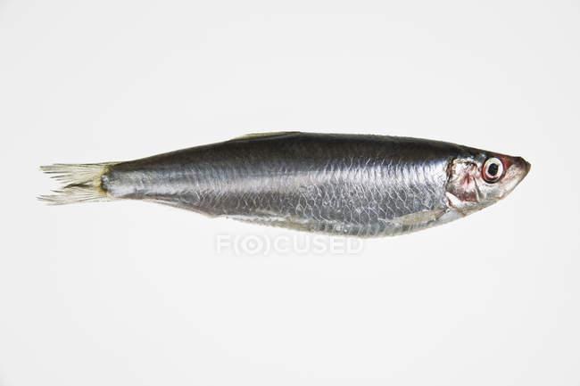 Full length shot of sardine on white background — Stock Photo