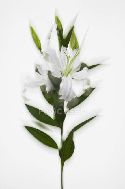 Stelo di gigli bianchi in fiore su sfondo bianco — Foto stock