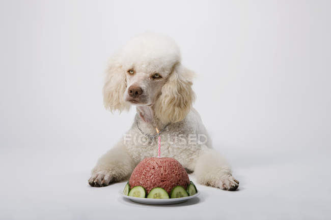 Poodle lying down by birthday cake of ground meat — Stock Photo