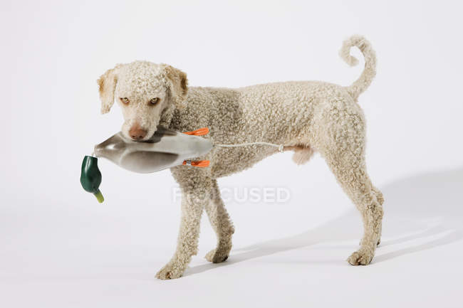 Portuguese Waterdog holding toy duck in mouth — Stock Photo