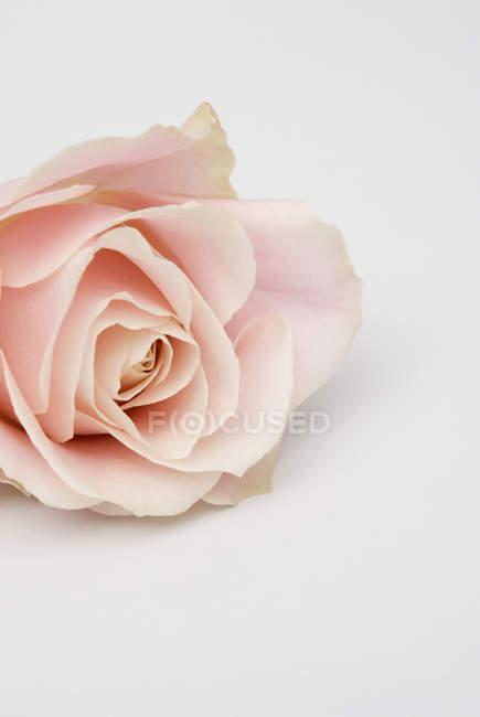 Nahaufnahme von rosa Rose auf weißem Hintergrund — Stockfoto