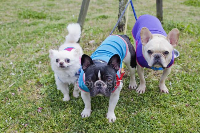 Retrato de Chihuahua y Bulldogs franceses en el césped del parque - foto de stock