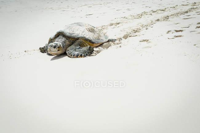 Schildkröte kriecht auf Sand am Strand im sonnigen Tag — Stockfoto
