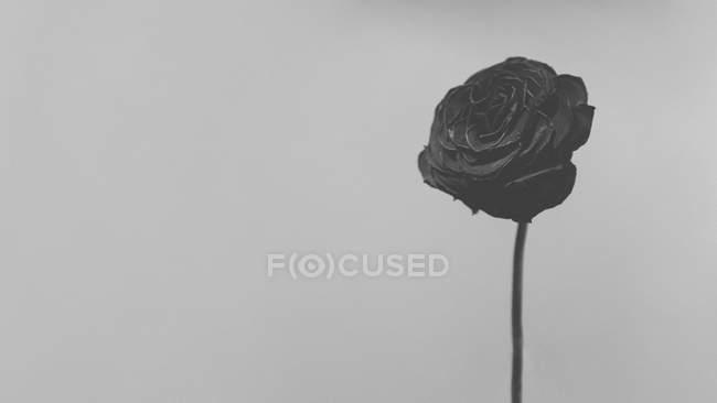 Close up shot of rose against white background — Stock Photo