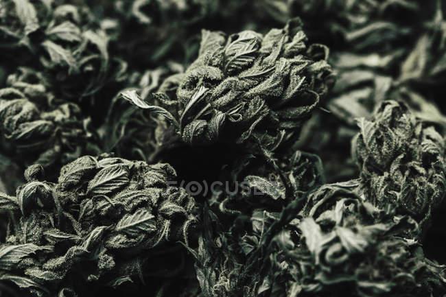Full-Frame-Schuss von getrockneten Marihuana Knospen — Stockfoto