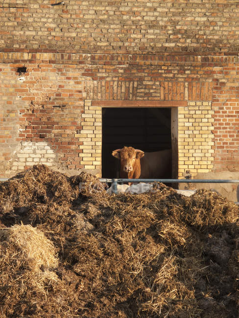 Cow looking at camera through barn window — Stock Photo