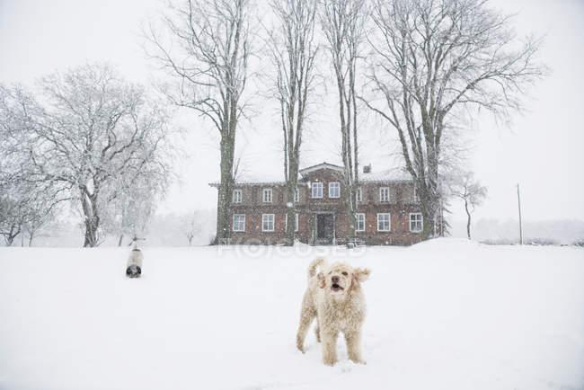 Labradoodle jugando en la nieve, rural campo - foto de stock