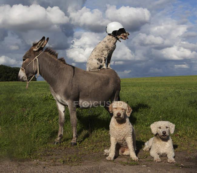 Dog wearing helmet on donkey in rural field — Stock Photo