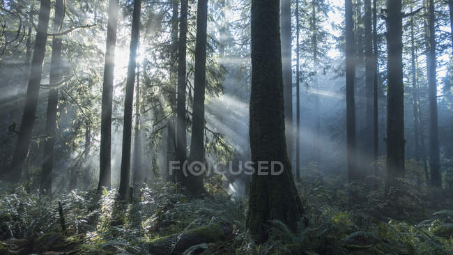 Спокойной sunbeams освещенная лесных деревьев — стоковое фото