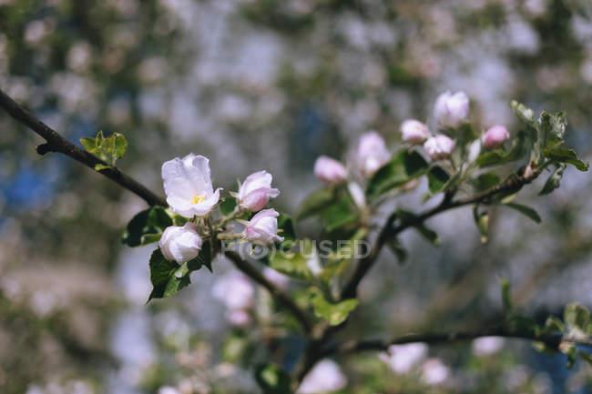 Крупним планом Рожеве вишня цвітіння на гілці — стокове фото