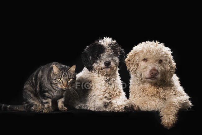 Studio shot cat and dogs on black background — Stock Photo