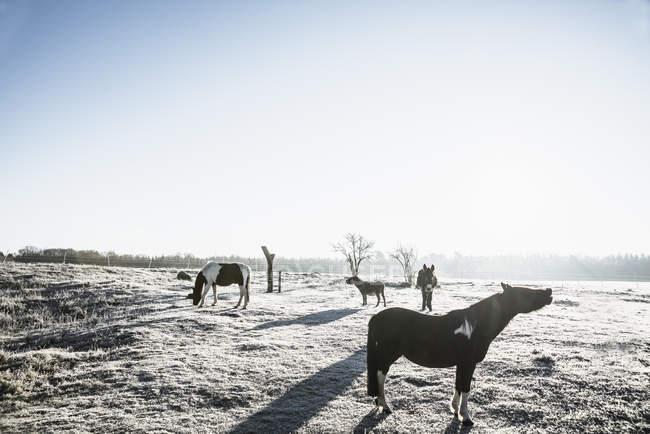 Pferde im sonnigen, gefrorene Winter Feld — Stockfoto