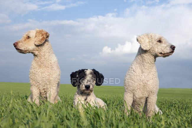 Hunde in sonniger, ländlicher Bereich tagsüber — Stockfoto
