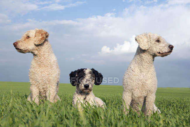 Dogs in sunny, rural field during daytime — Stock Photo