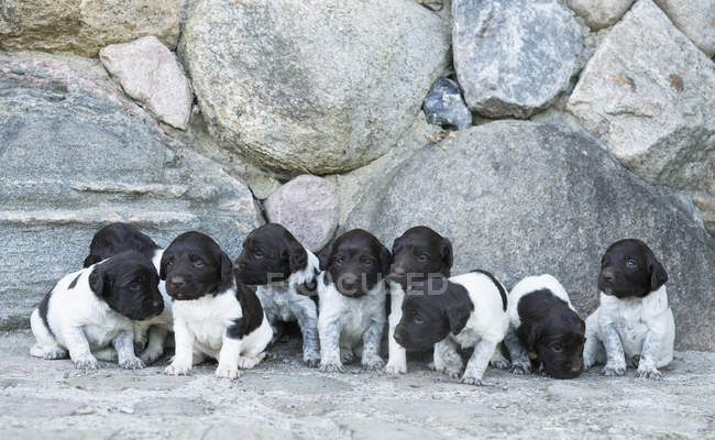 Cute Springer Spaniel puppies in a row — Stock Photo