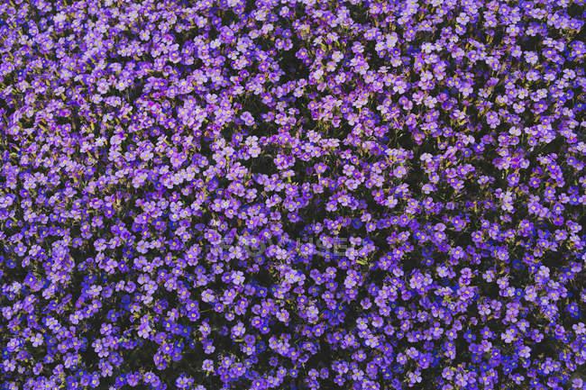 Повний кадр яскраві purple пурпурні та сині квіти — стокове фото
