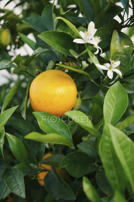 Frische, gelbe Zitrone wächst am Baum — Stockfoto