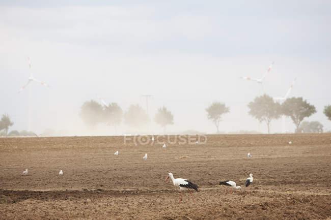 Oiseaux dans une culture rurale ensoleillée avec les éoliennes, Wiendorf, Mecklembourg-Poméranie occidentale, Allemagne — Photo de stock