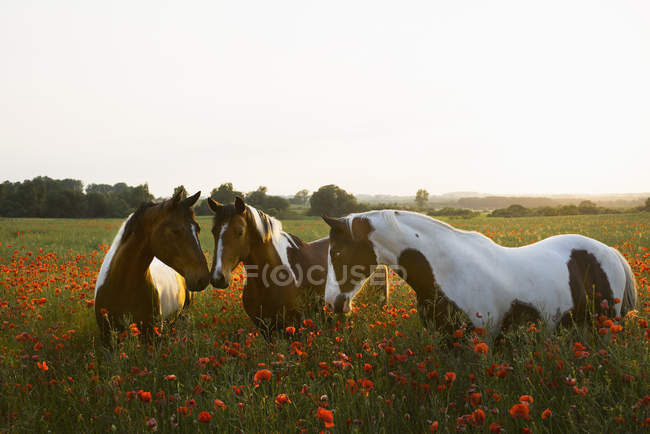 Brown and white horses in tranquil, rural field with wildflower poppies — Stock Photo
