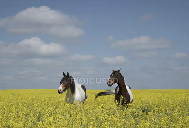 Bellissimi cavalli nel campo di canola soleggiato, idilliaco — Foto stock