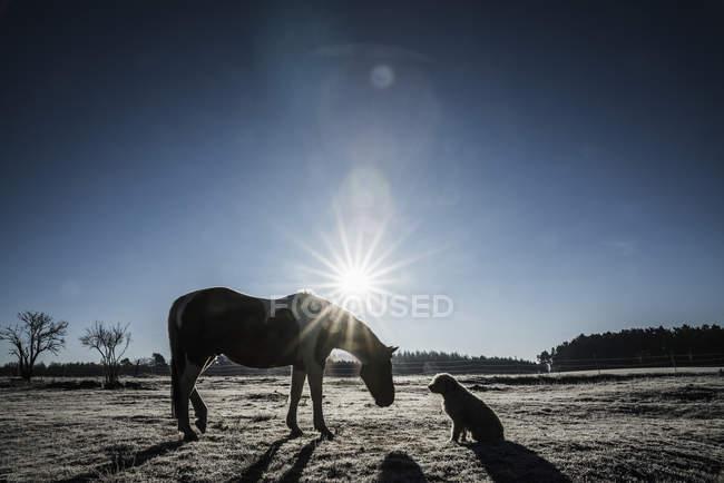 Солнце за лошадь и собака в поле зимой — стоковое фото