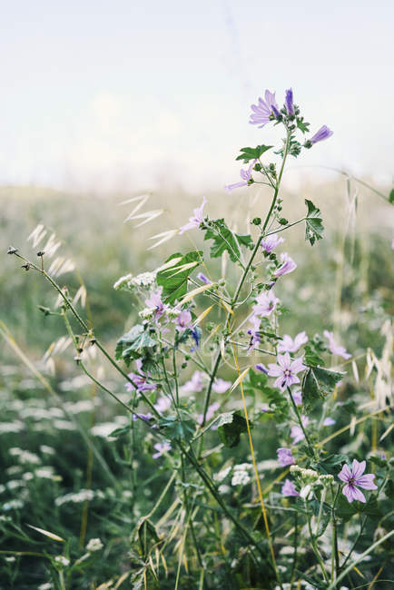 Idyllic purple wildflowers growing in field — Stock Photo