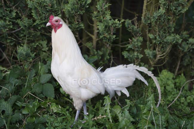 Coq blanc en sous-bois vert — Photo de stock